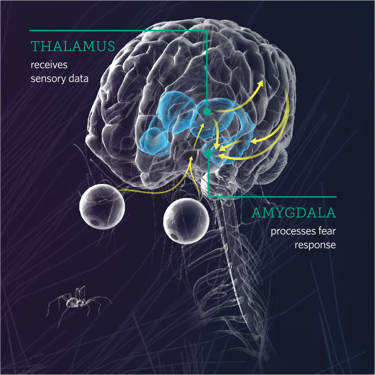 Diagram of the human brain showing locations of the thalamus and amygdala